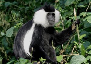 Efter en tidlig morgenmad på dit hotel bliver du hentet og kørt til Londorossi gate.   Imens du registrerer dig i Tanzania National Park (TANAPA), arrangerer portørerne bagagen og det du skal have med.   Efter din registrering begynder eventyret!   Du starter med at vandre i regnskoven, hvor du kan forvente regn, mudder, tåge og dyreliv. Bl.a. finder du her i regnskoven  de finurlige og smukke colobusaber.  Når du er halvvejs igennem dagens vandring, vil der være et frokoststop.  Herefter fortsætter du mod Forest Camp, hvor du ankommer sent på eftermiddagen eller tidligt på aftenen.   Portørerne og kokken går i forvejen og ankommer, inden du når frem. Her vil de have slået dit telt op for dig, kogt drikke-vand og forberedt lidt snacks.  Efter vi har slappet lidt af og vasket os, bliver der serveret varm aftensmad.   Efter maden hopper vi ind i teltene og overnatter.
