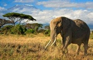 På dag 3 bruger vi dagtimerne på et game drive i nationalparken, hvor du vil komme rundt til flere forskellige steder i parken. Vi vil bevæge os ud på savannen, hvor vi besøger Lake Amboseli, der tidligere var en stor saltsø. Lake Amboseli er nu udtørret, og den lave mængde vegetation gør, at du nemmere kan få øje på savannens dyr, såsom antiloper, hyæner, sjakaler, vortesvin, bavianer og aber.   Afslutningsvis besøger vi Observation Hill, som er en mindre bjergtop, der er nem at bestige til fods. Her får du en fantastisk udsigt til Kilimanjaro.   Vil du opleve mere af Amboseli parken, tilbyder hotellet vandreture, hvor du får mulighed for at besøge vådområderne til fods og opleve de hundredvis af fugle, der holder til der. I lodgen bliver der serveret både morgenmad, frokost og aftensmad.