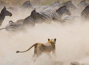 Efter morgenmaden fortsætter vi eventyret i Serengeti National Park.   I løbet af dagen vil du opleve hundredvis zebraer og vortesvin – og højst sandsynligt også løver, leoparder og geparder.   Frokosten bliver en picnic efterfulgt af endnu et game drive i parken.   Vi fortsætter game drivet frem til solnedgang.