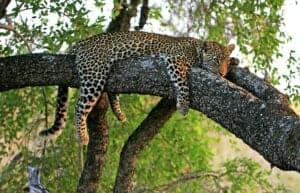"""Efter morgenmaden kører vi til Serengeti. Serengeti National Park er det perfekte sted til game drives, hvis man vil opleve nogle af Afrikas store katte – heriblandt leoparden.   Under game drivet er der stor chance for, at du oplever dyrene i det fri fra jeepens åbne tag. I løbet af eftermiddagen ankommer du til dagens destination, nemlig Seronera-dalen i det centrale Serengeti-område.   Her vil du overnatte i et telt designet i ægte safari-stil.   Aftensmaden vil blive serveret midt på savannen – en såkladt """"African Bush""""-middag.   Vi overnatter på Serengeti Sound of Silence Tented Camp. Her får du et 50 kvm. værelse i form af et telt – bygget i ægte safari stil – til rådighed. Værelset er udstyret med toilet & bad. Kingsize seng. En mindre markterresse gør det nemt for dig, at nyde den spektakulære solnedgang.   Afhængig af hvornår du vælger at rejse, kan et andet hotel blive anvendt – men i samme standard."""