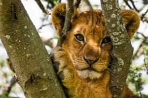 Velkommen til Tarangire National Park. Tarangire Park er med dens store baobab-træer, floden Terangire River og sæson-bestemte sumpe hjem for de største elefantflokke i det nordlige Tanzania.  Dyrene samles ved floden, og her kan du - hele året rundt - opleve alt fra elefanter til giraffer, bukke, antiloper og vortesvin.   Derudover huser parken også dyr som bøfler, zebraer og vildsvin – som følges af rovdyr såsom løver.   Er du heldig, kan du også få en leopard eller en gepard at se.   Vi kører på safari i et køretøj med åbent tag, så du nemt kan observere dyrelivet og landskabet.   Efter game drivet kører vi Eileens Tree Lodge, hvor vi overnatter.