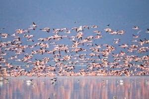 """Morgenmaden spiser vi på lodgen, inden vi forlader højlandet og sætter kurs mod Lake Manyara National Park – en af de mindste, men absolut mest elegante, parker i Tanzania.  Den lavvandede sø, Lake Manyara, udgør et stort område af Manyara National Park og er et sæsonbestemt hjem for flere tusinde flamingoer – en (pink) udsigt du sent vil glemme!  Derudover har parken mere end 500 andre fuglearter og pattedyr.  I skoven finder du en masse aber, og græssletterne bliver gæstet af giraffer, zebraer, bøfler og vildsvin. I akacieskov-områderne holder elefanterne og løverne til.  Med en strækning på 50 km, som følger den rustgyldne 600 m høje Rift Valley skrænt, er Manyara-søen en naturskøn perle. Ernest Hemingway, som er en af verdens mest kendte forfattere, og som rejste utroligt meget i Afrika, udtalte om området: """"the loveliest I had seen in Africa.""""  Efter nogle fantastiske game drives i parken forstår du forhåbentlig hvad Hemingway mente.  Vi forlader parken og kører tilbage mod Arusha eller Moshi.  Overnatning:Key Hotel"""