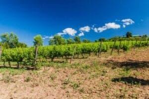 I dag kan du sove længe og bruge din formiddag, som du har lyst. Vi starter nemlig først dagens program om eftermiddagen, hvor vi cykler langs bredden af Inle Lake og ind i bjergene, hvor vi finder vingården Red Mountain Winery. Vinmarkerne dyrkes på en bakke, der giver en fantastisk udsigt til floden – specielt ved solnedgang. Det er et perfekt sted at dyrke druerne, som oprindeligt er fra Italien, Frankrig, Israel og Spanien. Vi får en rundvisning på markerne og i produktionen, så vi får et indblik i, hvordan de producerer den berømte Cabernet og Sauvignon. Efterfølgende tager vi plads og prøvesmager fire forskellige vine med lidt dertilhørende snacks. Alt dette foregår med lyden af Inle floden i baggrunden samt solnedgangen foran os.
