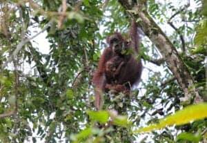 I dag vil du stå op til lyden af de lokale fugle, der fløjter daggryet velkommen. Dagens program starter nemlig tidligt med endnu en sejltur på floden, som vil føre os til Kenlenanap Ox-Bow Lake, hvor vi skal opleve nogle af områdets forskellige fuglearter og får chancen for at tage nogle fantastiske billeder af det lokale dyreliv. Vi bevæger os gennem Borneos betagende vildmark, inden vi vender tilbage til lodgen og spiser morgenmad.   Eftermiddagen har du på egen hånd. Du bestemmer selv om du vil slappe af, besøge nærliggende områder eller lokale landsbyer.   Om aftenen tager vi endnu en tur på floden – denne gang langs Borneos regnskov – hvor vi skal opleve endnu mere dyreliv. Når vi går i land, fortsætter vi til fods gennem uberørt terræn, inden vi tager tilbage til lodgen.