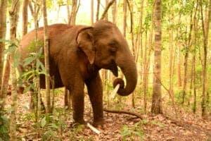 Efter morgenmaden tager vi ud i den cambodianske jungle, hvor hele dagen kommer til at gå med at besøge elefanterne. Vi skal nemlig besøge et NGO-projekt, der huser tidligere udsatte elefanter. I løbet af besøget vandrer vi i junglen og observerer elefanterne i den fri natur. Desuden lærer vi om elefanterne, de lokale samt bevarelse af skoven.   Projektet passer ikke kun på udsatte elefanter, men støtter også lokale, som bor i det omkringliggende område. Støtten går til alt fra lægehjælp til beskyttelse af skovområder. Desuden ansætter de lokale, og bidrager til den lokale økonomi.  Dit besøg i elefantprojektet er inkluderet i prisen. Det, du betaler for besøget, går ubeskåret til projektet. På den måde er du med din rejse med til at støtte op om deres arbejde.   En del af trekket er i fri natur, hvor der ikke er nogle stier. Derfor er det vigtigt, at du har nogle gode sko og noget tøj, der kan tåle at blive beskidt, på. Det er også en god idé at tage lidt skiftetøj med i en rygsæk.   Ønsker du at tilbringe flere dage i campen, er der mulighed for dette. Her kan du få lov til at indgå i projektet som frivillig arbejdskraft, hvor du blandt andet hjælper til i skoven og ordner mad til elefanterne.