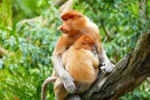 Efter morgenmaden kører vi mod Bako National Park, hvor vi får en guidet tur. Parken ligger på en halvø, som ligger ca. 1 time fra Kuching, og den huser hele syv forskellige regnskovshabitater. Fordi den huser så mange forskellige habitater, er parken hjem for flere usædvanlige dyr. Blandt andet finder du de sjove næseaber (proboscis aber), hanuman langure, svinehaleaber, vildsvin, flyveegern og varaner. I løbet af turen vil du også opleve en masse fascinerende plantearter – særligt i mangroveskoven, som har en helt særlig vegetation.  Vi spiser frokost ved kysten.  Resten af dagen har du til fri afbenyttelse.