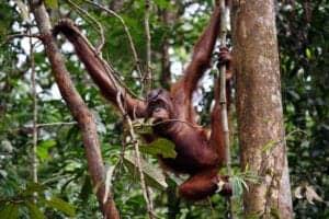 """Efter morgenmaden sætter vi kursen mod et rehabiliteringscenter, som huser tidligere udsatte orangutanger. Centeret befinder sig i Kabili Sepilok-skovreservatet. Her lærer vi om centerets rehabilitationsprogram, hvorefter vi ser orangutangerne blive fodret.   I centret lærer de orangutangerne at overleve og finde mad i naturen. Orangutanger har, ligesom os mennesker, brug for at være ved deres forældre i deres første leveår. Fra de bliver født, har de brug for at være ved forældrene i minimum 5-6 år, for at blive nogenlunde selvstændige. Orangutangerne i dette center blev taget fra deres forældrene få måneder efter fødslen – til gavn for turismen – og de har derfor ikke lært at begå sig i naturen sammen med deres forældre. En stor del af projektet går ud på at lære orangutangerne at overleve på egen hånd, således de kan sættes fri i naturen.   Efter besøget kører vi videre til Sukau, der ligger ved bredden af Kinabatangan-floden. Her sejler vi med båd til Borneo Nature Lodge, hvor vi checker ind. Efter check-in nyder vi en hyggelig eftermiddagstur ombord på et mindre """"river cruise"""", hvorfra vi kan spotte forskellige abeater og andet dyreliv, der ofte gæster bredden af floden.   Vi overnatter efterfølgende på Borneo Nature Reserve."""