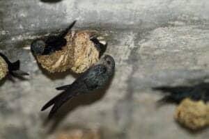 """I dag går turen mod Gomantong Cave, som er kendt for bæredygtig høst af spiselige fugleredder, som bliver lavet af fuglearten """"swiftlet"""" (Grågumpet Salangan). Redderne sælges for helt op til 1000 $ pr. kilo.   Herefter vandrer vi til Semut Hitam-grotten, som vi skal ind og kigge i – hvis du tør. Grotten er hjem for både fugle og flagermus.   Vi kører videre til Sandakan og nyder en god frokost, inden vi starter på en hyggelig eftermiddagstur, hvor vi besøger Sim Sim water village, byens centrale marked og det berømte buddhistiske tempel Puu Jih Shih, som er kendt for brugen af omvendte Swastika, der i buddhismen symboliserer held. Templet er placeret i naturrige omgivelser og har nogle helt fantastisk smukke, velplejede haver.  Resten af aftenen er du på egen hånd. Vi overnatter i Sandakan.  Vi gør opmærksom på, at der kan forekomme kakerlakker i grotterne."""