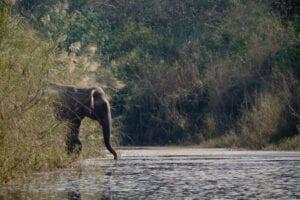Straks efter morgenmaden begiver vi os ud på dagens junglesafari. Vi tager første del af turen i dugoutkanoer, hvorefter vi går i land og fortsætter vores junglesafari til fods. Efter frokost fortsætter safarien i jeep. Vi kører gennem fantastisk, vild natur, og kommer til at se mange spændende dyr. Om aftenen skal vi opleve et lokalt Tharu-program.