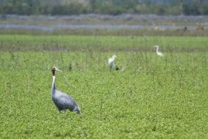 I dag flyver vi til Biratnagar, som er den lufthavn, der ligger tættest på Koshi Tappu Wildlife Reserve (flyveturen tager ca. 1 time). Fra lufthavnen kører vi i ca. 1 times tid, før vi ankommer til campen, hvor vi bliver briefet og introduceret til faciliteterne og dagens program. Herefter tager vi på fuglekiggertur i de vådområder og marker, der ligger omkring reservatet. Her vil vi se storke, ibiser, snepper, vandfugle og mange flere.