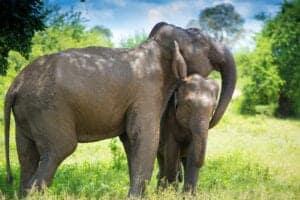 """Vi starter dagen med morgenmad på hotellet. Mellem 07:30 – 08:00 bliver vi hentet og kørt ud til én af de få parker i Asien, hvor du kan få lov til at opleve elefanter i fri natur, uden at folk rider på dem, bader dem og stresser dem. Parken huser seks elefanter, som tidligere har været udsat for den mørke side af turismen.  Vi starter besøget i elefantparken med en introduktion til parkens fortid, nutid og kommende programmer, som alle er til fordel for elefanterne. Efter introduktionen går vi ud i skovområderne, hvor du fra en sikker afstand får lov til at observerer elefanterne socialisere med hinanden – som var du på en ægte safari i Afrika. Du lærer om elefanterne og møder parkens mahouter. Under observationen af elefanterne kan du stille alle de spørgsmål, du har, og du får ligeledes en """"live undervisning"""" om elefanternes opførsel, hvor du bl.a. bliver fortalt hvad deres kropssprog betyder, hvor meget de spiser, hvad de vejer, hvor gamle de bliver samt hvilken natur, de lever i.  Efter vandringen og observeringen går vi til parkens """"rest station"""", som ligger ovenover et mudderhul. Her bliver der serveret traditionelle thaiforfriskninger. Fra stationen kan du være heldig at observere elefanterne slappe af i mudderhullet. Det kan være en god ide at tage tøj på, som tåler at blive lidt beskidt, da der godt kan flyve mindre mudderklatter op fra mudderhullet. Elefanterne bruger nemlig mudderhullet til at køle kroppen ned på varme dage. Her bruger de snablen til at kaste mudder op på kroppen - og det kan godt sprøjte lidt. Herefter bevæger vi os ned til floden, hvor vi får lov til at fylde rør op med majs, sukkerrør, græs, bananer med mere. Herefter bliver der serveret frokost for både dig og elefanterne – og du kan observere elefanterne spise den frokost, du har forberedt til dem.  Besøget i elefantparken er inkluderet i rejsens pris, og prisen for besøget går ubeskåret til parken. Det vil sige, at du ved dit besøg har støttet elefanterne, fodret og observeret dem """