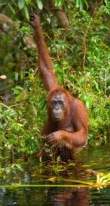 """Efter morgenmaden sætter vi kursen mod et rehabiliteringscenter, som huser tidligere udsatte orangutanger. Centeret befinder sig i Kabili Sepilok-skovreservatet. Her lærer vi om centerets rehabilitationsprogram, hvorefter vi ser orangutangerne blive fodret.   I centret lærer de orangutangerne at overleve og finde mad i naturen. Orangutanger har, ligesom os mennesker, brug for at være ved deres forældre i deres første leveår. Fra de bliver født, har de brug for at være ved forældrene i minimum 5-6 år, for at blive nogenlunde selvstændige. Orangutangerne i dette center blev taget fra deres forældrene få måneder efter fødslen – til gavn for turismen – og de har derfor ikke lært at begå sig i naturen sammen med deres forældre. En stor del af projektet går ud på at lære orangutangerne at overleve på egen hånd, således de kan sættes fri i naturen.   Efter besøget kører vi videre til Sukau, der ligger ved bredden af Kinabatangan-floden. Her sejler vi med båd til Borneo Nature Lodge, hvor vi checker ind. Efter check-in nyder vi en hyggelig eftermiddagstur ombord på et mindre """"river cruise"""", hvorfra vi kan spotte forskellige abeater og andet dyreliv, der ofte gæster bredden af floden. Heriblandt orangutangen.    Vi overnatter efterfølgende på Borneo Nature Reserve."""