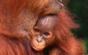 I orangutangernes fodspor
