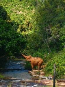 """Vi starter dagen med morgenmad på hotellet. Mellem 07:30 – 08:00 bliver vi hentet og kørt ud til én af de få parker i Asien, hvor du kan få lov til at opleve elefanter i fri natur, uden at folk rider på dem, bader dem og stresser dem. Parken huser seks elefanter, som tidligere har været udsat for den mørke side af turismen. Vi starter besøget i elefantparken med en introduktion til parkens fortid, nutid og kommende programmer, som alle er til fordel for elefanterne. Efter introduktionen går vi ud i skovområderne, hvor du fra en sikker afstand får lov til at observerer elefanterne socialisere med hinanden – som var du på en ægte safari i Afrika. Du lærer om elefanterne og møder parkens mahouter. Under observationen af elefanterne kan du stille alle de spørgsmål, du har, og du får ligeledes en """"live undervisning"""" om elefanternes opførsel, hvor du bl.a. bliver fortalt hvad deres kropssprog betyder, hvor meget de spiser, hvad de vejer, hvor gamle de bliver samt hvilken natur, de lever i.  Efter vandringen og observeringen går vi til parkens """"rest station"""", som ligger ovenover et mudderhul. Her bliver der serveret traditionelle thaiforfriskninger. Fra stationen kan du være heldig at observere elefanterne slappe af i mudderhullet. Det kan være en god ide at tage tøj på, som tåler at blive lidt beskidt, da der godt kan flyve mindre mudderklatter op fra mudderhullet. Elefanterne bruger nemlig mudderhullet til at køle kroppen ned på varme dage. Her bruger de snablen til at kaste mudder op på kroppen – og det kan godt sprøjte lidt.  Herefter bevæger vi os ned til floden, hvor vi får lov til at fylde rør op med majs, sukkerrør, græs, bananer med mere. Herefter bliver der serveret frokost for både dig og elefanterne – og du kan observere elefanterne spise den frokost, du har forberedt til dem. Besøget i elefantparken er inkluderet i rejsens pris, og prisen for besøget går ubeskåret til parken. Det vil sige, at du ved dit besøg har støttet elefanterne, fodret og observeret dem –"""