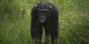 Hele denne dag er vi i reservatet, hvor vi både morgen og eftermiddag tager på game drives.  Ol Pajeta er ikke bare det største reservat i Østafrika for sorte næsehorn, det er også det eneste sted i Kenya, hvor du kan se chimpanser.   Vi besøger både det lokale næsehorn- og chimpansereservat i løbet af game drivet.  Reservatet blev oprettet med det formål at rehabilitere dyr, som er blevet reddet fra det sorte marked.   Ol Pajeta støtter også lokalbefolkningen, som bor tæt på reservatets grænser.   Støtten går til bedre uddannelse,  sundheds-ydelser og infrastruktur.  Morgenmad, frokost og middag indtages i Sweetwaters Serena Camp.