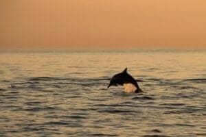 Stå tidligt op om morgenen og kom med ud på havet, inden solen står op. Se solen stå op fra båden, mens vilde delfiner springer lystigt op af havet omkring dig. Spot Lovinas 5 forskellige delfinarter sammen med guiden.  Tag herefter tilbage til stranden og få en lækker morgenmad – resten af dagen har du på egen hånd.
