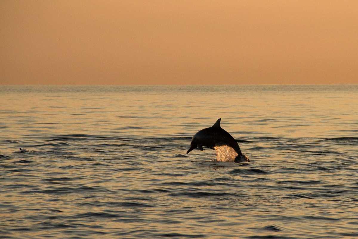 Delfiner Lovina