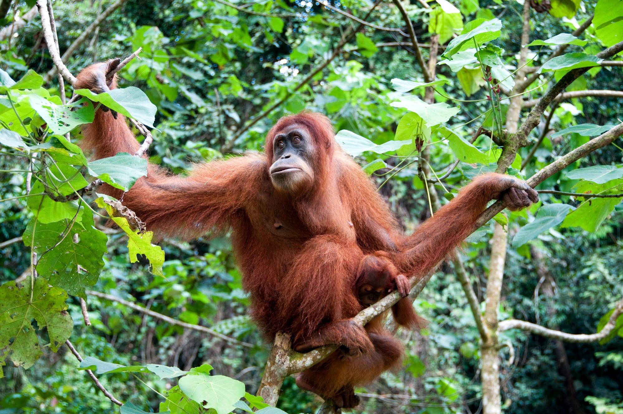Sumatras orangutanger, vulkaner og vandfald