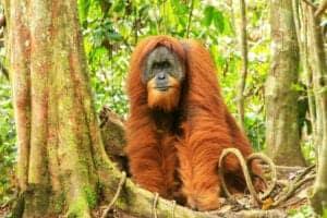 Gør dig klar til en spændende dag i naturen! Vi starter med at krydse floden i en traditionel kano, hvorefter vi trekker ind i den frodige jungle, hvor vi med garanti vil møde orangutanger, der sidder og spiser frisk frugt. Disse intelligente dyr er meget truede – så det er i sandhed en helt unik oplevelse at se dem sidde majestætisk i træerne. Herfra fortsætter vi længere ind i junglen, hvor vi kommer til at se en masse sjældne blomster og andre planter, som kun vokser i den tropiske regnskov. Efter ca. 3 timers jungletrekking vender vi tilbage til hotellet, og du har resten af aftenen til at gå på opdagelse i Bukit Lawang på egen hånd.
