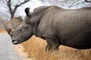 """De næste 2 dage bliver også brugt i Masai Mara.   Her er der planlagt game drives morgen og eftermiddag, så du får rig mulighed til at opleve reservatets vilde dyreliv.  Allerede tidligt om morgenen kan du opleve Afrikas """"big five"""", som består af: Elefanten, løven, leoparden, bøflen og næsehornet.  Masai Mara er verdenskendt for dets løver, leoparder, geparder, elefanter samt den årlige migration til og fra Serengeti-regionen, hvor tusindvis af gnuer, zebraer, gazeller og antiloper vandrer forbi.  Migrationen bliver også kaldt """"The Great Migration""""."""