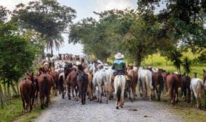 """Den nordøstlige provins Guanacaste er kvægprovinsen i Costa Rica. Her holdes de gamle traditioner i hævd, og rundt omkring i landskabet kan du se """"sabaneros"""" (Costa Rica-cowboys) ride på deres heste. Det er den tørreste af alle Costa Ricas provinser, fordi der næsten ingen regn falder mellem december og april. I denne periode bliver landskabet helt vissent og gult, og alle træerne smider deres blade. De store, gyldne sandstrande, som provinsen også har, er meget populære blandt turister.  I dag skal du køre tilbage til Stillehavsområdet langs Lake Arenal. Når du rammer Pan-American Highway'en, sætter du kurs mod nord til den varme by Liberia, som er hovedstaden for provinsen. Fra Liberia har du kun 45 minutter til dagens destination. I alt skal du i dag køre i bil i 3 timer og 15 minutter."""