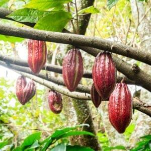 Tag med på chokoladeturen, hvor du lærer alt om kakaotræet og dets frugter – og om, hvordan man laver chokolade.