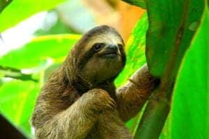Dovendyret er ét af de dyr, som næsten er blevet symbol på Costa Rica, og på denne tur udforsker du dens naturlige habitat fra en minivan sammen med en engelsktalende guide. Guiden hjælper dig med at spotte dovendyrene – og chancerne for at spotte minimum ét dovendyr er gode. Der findes to arter af dovendyr: Det totåede og det tretåede dovendyr. Er du heldig, spotter du begge dele i løbet af turen.