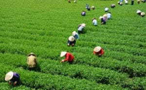 Når du har sagt farvel til dine gæstfri værter i Ho Thau, fortsætter vi vores rejse gennem det dekorative landskab. I dag trekker vi langs snoede stier, gennem tropiske bambusskove og forbi vandløb og et vandfald, før vi når til landsbyen Suoi Thau.  Midt imellem spektakulære risterrasser ligger landsbyen, der er hjem for Long Tunics Dao-gruppen. Her ser du en mere end 100 år gammel teplante af arten Shan tea. Denne tesort er meget populær i Vietnam, og du får selvfølgelig lov til at smage en kop, inden vi fortsætter dagens program med et besøg ved landsbyens gamle tempel.  Efter frokost har du resten af dagen til at slappe af i landsbyens ro, inden du skal til køjs på et lokalt homestay.