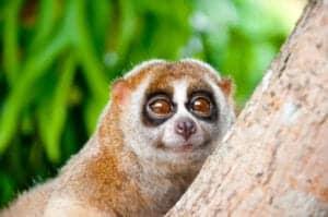 """Efter morgenmaden besøger vi  nationalparken, Cuc Phuong, som er et af Vietnams absolut vigtigste områder, når det kommer til biodiversitet.  Efter ca. 3 timers kørsel ankommer vi til Endangered Primate Rescue Centre, som er et non-profit redningscenter, der blev byg-get i 1993. Her redder de forskellige abe-arter fra det sorte marked i det sydlige Asien, hvorefter de rehabiliterer dem, for senere at slippe dem fri i naturen igen. Under dit besøg vil du møde nogle af centerets beboere. Heriblandt gibbonaber og sjældne langurer. Du kommer også til at hilse på """"Slow Loris"""", selvom den kan være lidt genert.   Har du lyst til at vide mere om EPRC's arbejde, bliver der også tid til at snakke  med de ansatte.   Herefter besøger vi Turtle Conservation Center, hvor 20 forskellige skildpaddearter er blevet reddet og rehabiliteret, for senere at blive sluppet fri igen.  Afslutningsvist tager vi ca. 7 km ind i junglen, går 200 trappetrin op, og ankommer til grotten """"Prehistoric Man Cave"""", hvor man tidligere har fundet 7.500 år gamle menneskeknogler og værktøj.   Derefter tager vi til Can Long Warf, hvor vi afslutter dagen med en dejlig bådrejse ind i reservatet Long Nature Reserve – det største vådområde i det nordlige Vietnam. Her sejler vi forbi smukke landskaber, og turen er derfor perfekt til billeder."""