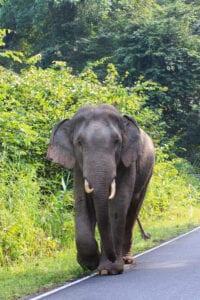 I dag forlader vi Bangkok for at tage til Khao Yai National Park, som ligger ca. 3 timers kørsel væk. Her skal vi på en uforglemmelig junglesafari.  Khao Yai er Thailands ældste og mest berømte nationalpark, og den er hjem for imponerende mange spændende dyrearter, herunder sambarhjorten og vilde elefanter. Det er også kommet frem, at man har spottet tigre i parken. Sammen med guiden trekker du over parkens sletter til et vildttårn, hvorfra du har udsigt til en naturlig saltaflejring. Herfra kan du observere dyrene, der kommer for at slikke det vitale næringsstof i sig.  Herefter kan du køle dig ned med en svømmetur ved det flotte Heiw Sawat-vandfald, før vi tager tilbage til byen, hvor du kan nå at slappe lidt af, inden vi skal afsted på en spændende natsafari i jeep. Ved hjælp af kraftige lygter navigerer vi gennem mørket, hvor guiden hjælper dig med at spotte områdets fascinerende natdyr – herunder de kattelignende jungledesmerdyr, pindsvin og endda rastløse elefanter.