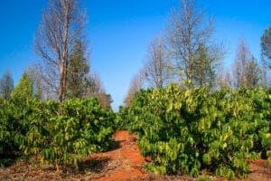 I dag skal vi bruge dagen ude i den pragtfulde natur. Vi starter med et let trek til Bolaven Plateaus sletter gennem kaffeplantager, landsbyer og skov. Se smukke vandfald, imponerende ruiner og nyd det forfriskende kølige klima, som kendetegner Bolaven Plateau – og som hører til sjældenhederne i Sydøstasien.