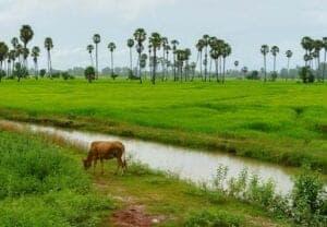 Vi starter dagen med en lille køretur til Samrong-landsbyen. Her hopper vi op på en vogn, der kører os gennem rismarker og landsbyer, til vi ankommer til det skjulte tempel, Banteay Ampil, der er overbevokset af jungle. På vej tilbage til landsbyen, stopper vi ved et buddhistisk tempel, hvor en munk velsigner os.  Efter frikost, hopper vi op på cyklerne, og kører til en lokal Khmer familie, der viser os, hvordan man laver sivkoste – du har du lyst, kan du også prøve. Herefter bliver vi vist rundt i byen, hvor der er mulighed til at deltage i forskellige lokale aktiviteter. Heriblandt fiskeri, landbrug og pleje af dyrene. Om aftenen, hjælper du med at ordne aftensmaden. Her får du et indblik i de forskellige ingredienser, og lærer samtidig, hvordan man laver en ægte, lokal middag.   Vi afrunder dagen med en fantastisk solnedgang over rismarkerne.