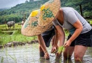 På denne halvdagstur, bliver det tid til at smøge ærmerne op, komme ud på landet, og hjælpe til i rismarkerne.  Her tager vi ud til 'Living Land Farm' der er et samfundsprojekt, opbygget af de nærliggende landsbyer. Her har man slået alles marker sammen, og dannet 1 stor mark, der dyrker økologiske ris, urter og grønsager.  Det har man gjort for at skåne samfundet for brug af kemikalier og pesticider.  Idag sælger de deres produkter til restauranter og hoteller, og støtter samtidig de nærliggende lokale samfund, med bedre uddannelse og oplæring af underprivilegerede børn.  Omringet af smuk natur og bjerge, og med mudder til knæene, bliver du en del af de lokale bønner, og hjælper med at høste og plante, samtidig med, at du lærer om processen.  På en lokal farm, er der altid nok at tage fat på. Derfor er det ikke kun en stor hjælp, som de lokale er evigt taknemmelige for – det er også en enestående chance for, at få et glimt af livet på landet.  Farmen er desuden hjem for en smed og et kurv-vævningsværksted. Her kan du også se, hvordan man presser sukkerrør og laver sukkervand, på traditionel vis. Du får selvfølgelig mulighed for at afprøve den lækre forfriskning, inden vi bevæger os hjemad.
