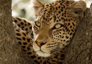 """Masai Mara er et af de mest kendte naturreservater i verden.   Da naturreservatet består af mange planteædere, er området ideelt at jage i for Kenyas """"store katte"""": det er det område i Kenya, med den største population af løver.  Masai Mara er også kendt for at huse store flokke af elefanter, næsehorn og bøfler, som vandrer over sletten.   I løbet af denne dag bevæger vi os ud på Afrikas vildeste savanne på udkig efter Afrikas 5 farligste dyr, også kaldet 'de 5 store', nemlig;  løven, leoparden, elefanten, bøflen og næsehornet.  Om aftenen vender vi tilbage til Mara Sopa Lodge."""