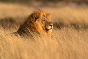 Vi befinder os i Afrikas vildeste reservat, når det kommer til de dyr, der er øverst i fødekæden.  Vi bruger de næste 2 på game drives i reservatet – både om morgenen og om aftenen.    Morgenmad, frokost og middag tager vi i campen.