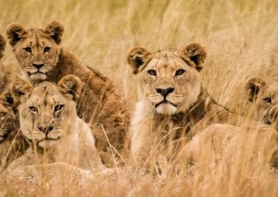 Kenya Safari: Simba Safari
