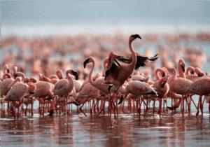 Efter morgenmaden kører vi gennem The Great Rift Valley, forbi Lake Elmenteita, på vores vej til Nakuru National Park.  Når vi ankommer til Lake Nakuru National Park, starter vi med et game drive rundt om søen. Her får du chancen for at opleve et glimt af søens knap 1,2 millioner flamingoer. Er vi heldige, får vi også de næsehorn, som ofte holder til i kanten af søen, at se.  Frokosten indtages på vores nye ind-kvarteringssted, Lake Nakuru Lodge. Her checker vi ind og får tid til en afslappende frokost, inden vi tager endnu et game drive rundt søen.  Afslutningsvis kører vi tilbage til lodgen, hvor du kan nyde en cocktail, tage en dukkert i poolen og få en overdådig middag.