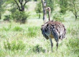 """Vi bruger de næste 2 dage på morgen- og eftermiddags-game drives i Serengeti.   Morgenmad, frokost og middag får vi på Mbuzi Mawe Campen.  Med sine 14.763 kvadratkilometer endeløs savanne er Serengeti Tanzanias' første, største og mest kendte park.   Deraf tilkommer navnet Siringet, som på det lokale Masaisprog betyder """"de endeløse sletter"""".   Parken huser tusindvis af klovbærende dyr, som konstant er på jagt efter friske græssletter.  Men de frodige græssletter er ikke kun ensbetydende med mad – for de byder også på farer.  Rovdyrene skal også have mad."""