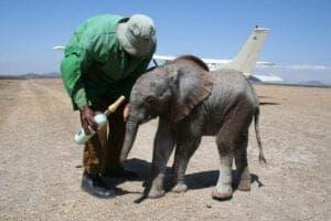Vi starter safarieventyret med hjælp og støtte til Kenyas dyreliv og lokalbefolkning. Vi starter ved Daphne Sheldrick's Elephant Orphanage, hvor forældreløse elefantunger hjælpes på fode, inden de sættes ud i naturen. Under besøget får du et indblik i projektet.  Herefter kører vi mod Langata Giraffe Centre, hvor du kommer helt tæt på de knap 6 meter høje dyr. Girafferne som holder til her, er alle afkom af den meget truet giraf-art: Rotchild-giraffen.Vi spiser frokost på en lokal restaurant, inden vi fortsætter mod Karen Blixen muséet, hvor vi hører flere spændende historier fra hendes liv i Afrika.  Vi afslutter dagen med et besøg hos smykkevirksomheden Kazuri, hvor hundredvis af enlige kvinder har fået job. På den måde, kan de forsørge sig selv og familien. Under dit besøg oplever du smykkefabrikken, og har mulighed for at købe nogle håndmalede smykker - hvis du har lyst.  Efter dagens program, vender vi tilbage til hotellet.  Safarieventyret starter imorgen.