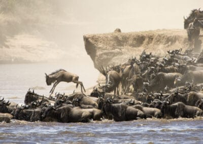 The Great Migration i Tanzania – Kalvesæsonen.