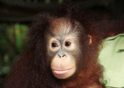 Borneo og øens orangutanger