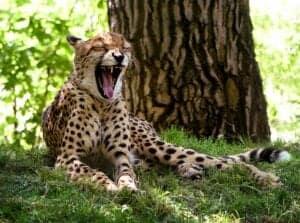 cheetah open mouth