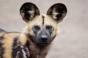 african wild dog 2 1