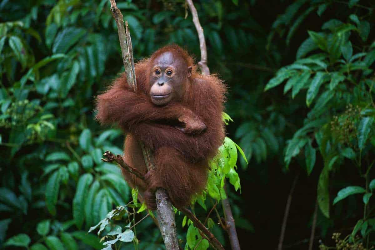 Sumatras orangutanger