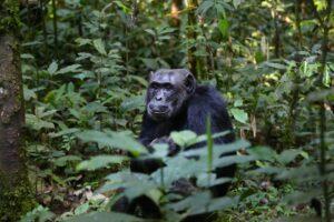 chimpanse 1