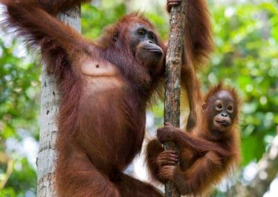 Singapore og eksotisk dyreliv i Borneos regnskov