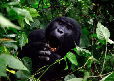 Uganda og Rwanda: Afrikas grønne perler